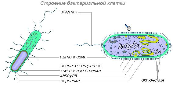 бактерии в картинках