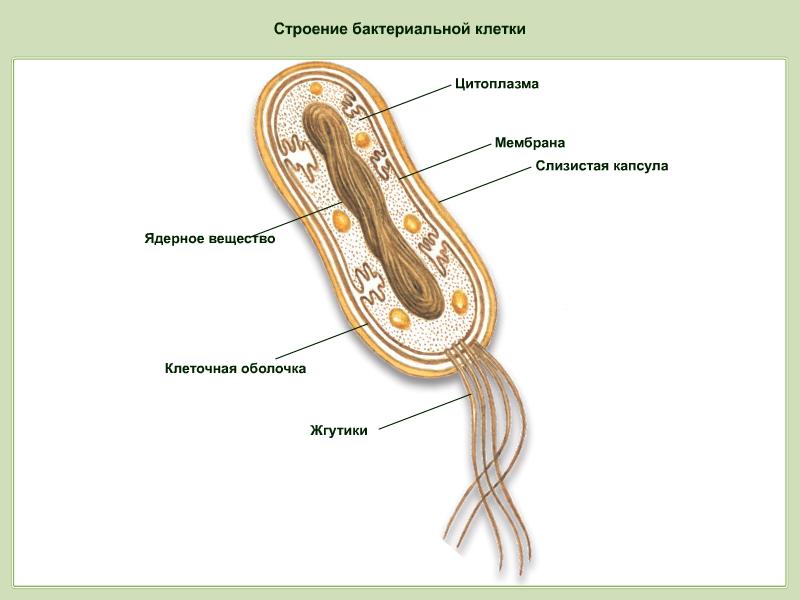 Строение бактерий рисунок с подписями